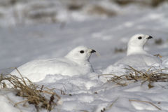 Two female quail hidden in the snow in the snowy Stock Photo