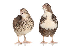 Two female quails on a white stock photography