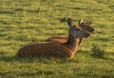 Two female red deer. Taking rest in the sunset light Royalty Free Stock Image