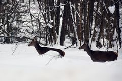 Two female red deers in the snow hard surviving royalty free stock images