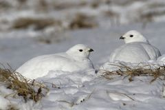 Two female Rock ptarmigan sitting in the snow after a night bliz Stock Photos