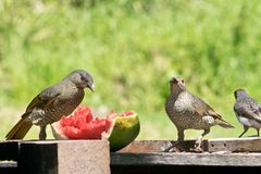 Two female satin bowerbirds royalty free stock images