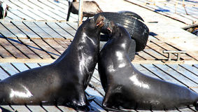 Two Female Sea Lions Arguing. Two wild female California sea lions fight on a dock in San Diego Stock Photography