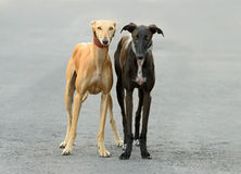 Two Female Spanish Galgo dogs Stock Photo