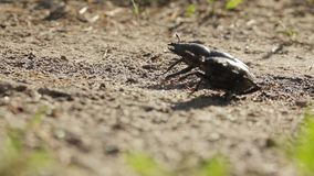 Two female stag-beetle on the sandy ground. One tried to climb up on the other stock video footage