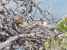 Two Female superb fairy-wrens. Cute small Female superb fairy-wrens Royalty Free Stock Photo