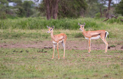 Two Female Thomson's Gazelle. In the morning in the Serengeti Stock Photos