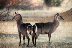 Two female waterbuck in the early morning light royalty free stock image
