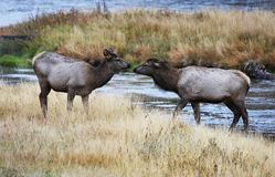 Two Female Wild Elk at Yellowstone River. Two beautiful female elk share a moment at the Yellowstone River in Yellowstone National Park in Montana Royalty Free Stock Photography