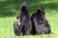 Two females with cubs. Two moms with monkeys and toddlers. Mom and the kid. The bonobo, formerly called the pygmy chimpanzee and less often, the dwarf or Royalty Free Stock Image