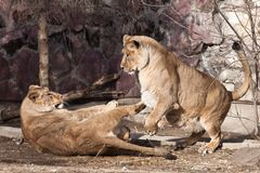 Two females of a lioness-girlfriend are fighting each other by playing stock image