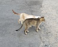 Two Feral Cats Frolicking on a Sidewalk. Two Feral Cats Frolicking on a ewalk, Big Island, Waikoloa, Hawaii royalty free stock photos