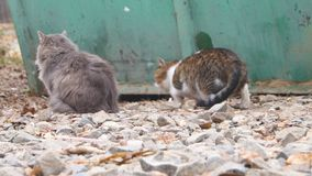 Two feral cats near metal fence. One cat exploring stock video footage