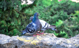 Two feral pigeons show affection towards each other. Royalty Free Stock Image