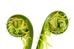 Two fern buds spirals isolated on white Royalty Free Stock Image
