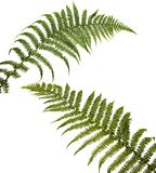 Two fern leaf isolated on white background. Stock Photography
