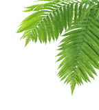 Two Ferns Royalty Free Stock Image