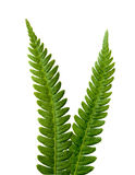 Two ferns Stock Photo