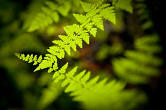 Two ferns intersecting. Each other in a very shady zone of a forest Royalty Free Stock Images