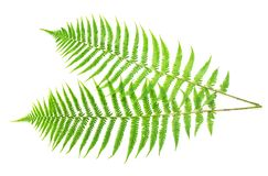 Two ferns Royalty Free Stock Photos