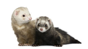 Two ferrets, 1 year old and 18 months old. In front of white background royalty free stock image