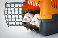 Two ferrets Royalty Free Stock Photos