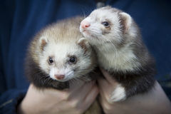 Two Ferrets stock photography