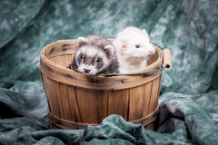 Two ferrets in basket. Stock Images