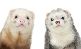 Two Ferrets. Close-up portrait Royalty Free Stock Photography
