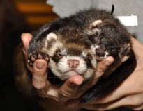 Two ferrets royalty free stock images