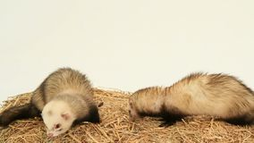 Two Ferrets Eating On A Haystack stock video
