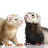 Two Ferrets kits (10 weeks). In front of a white background stock images