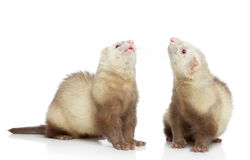 Two ferrets look up. On a white background royalty free stock photo