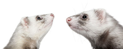 Two ferrets looking at each other, 1 year old. In front of white background stock photo