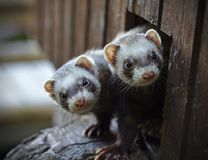 Two ferrets looking out of their wooden house stock photo