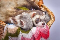 Two ferrets sitting in a basket. Two pretty sable ferrets sitting in a basket with colorful balls of yarn Royalty Free Stock Photography