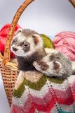 Two ferrets sitting in a basket. Two pretty sable ferrets sitting in a basket with colorful balls of yarn Stock Images
