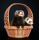 Two Ferrets in wattled basket. On a dark-blue background Stock Images
