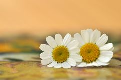 Two Feverfew flowers. Two Feverfew flowers (Tanacetum parthenium) with very shallow focus and soft pastel background Royalty Free Stock Images