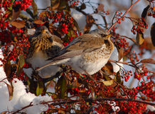 Two Fieldfares in a Cotoneaster stock images