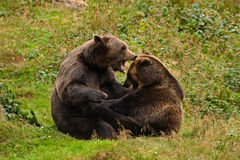 Two fight brown bears in the forest. Portrait of brown bear, sitting on the grey stone, pink flowers at the background, animal in Royalty Free Stock Image