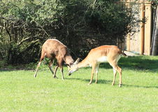 Two fighting antelopes red lechwe Stock Photos