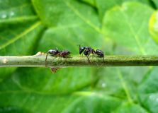 Two fighting ants Royalty Free Stock Images