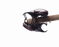 Two fighting beetle (rhinoceros beetle) on branch Stock Images