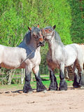 Two fighting brabant stallions. Royalty Free Stock Photography