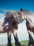 Two fighting brabant stallions. Royalty Free Stock Images