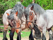 Two fighting brabant stallions. Stock Photos