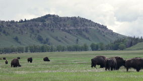 Two fighting buffaloes in herd. Two fighting buffaloes in a big herd stock video footage