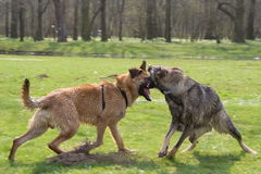 Two fighting dogs Stock Image
