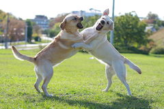 Two fighting dogs on the grass Stock Images